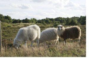 Spelsau racen er en urgammel nordisk landrace, som har danske rødder tilbage til bronzealderen